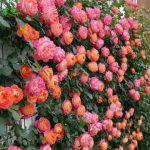 Cach trong hoa hong leo phep